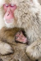 授乳するニホンザル