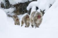 雪の中温泉へとやってくるニホンザル