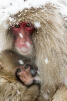 授乳するニホンザル 10210000477| 写真素材・ストックフォト・画像・イラスト素材|アマナイメージズ