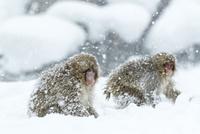 吹雪の中の子ザル 10210000492| 写真素材・ストックフォト・画像・イラスト素材|アマナイメージズ