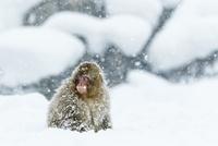 吹雪の中の子ザル 10210000493| 写真素材・ストックフォト・画像・イラスト素材|アマナイメージズ