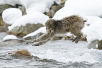 川をジャンプするニホンザル 10210000494| 写真素材・ストックフォト・画像・イラスト素材|アマナイメージズ