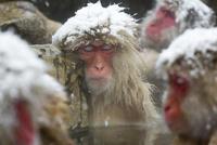雪降りの中温泉に入り、気持ちよくなって眠るニホンザル 10210000500| 写真素材・ストックフォト・画像・イラスト素材|アマナイメージズ