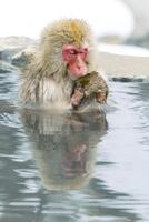 親子で温泉に入るニホンザル。授乳中。 10210000505| 写真素材・ストックフォト・画像・イラスト素材|アマナイメージズ