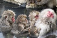 温泉に入りながら、みんなで大人のメスざるの毛づくろいをする 10210000507| 写真素材・ストックフォト・画像・イラスト素材|アマナイメージズ