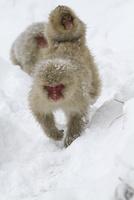 雪の中、子どもを背中に載せて移動するニホンザル 10210000511| 写真素材・ストックフォト・画像・イラスト素材|アマナイメージズ