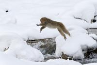 川をジャンプするニホンザル 10210000514| 写真素材・ストックフォト・画像・イラスト素材|アマナイメージズ