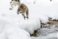 川をジャンプするニホンザル 10210000515| 写真素材・ストックフォト・画像・イラスト素材|アマナイメージズ