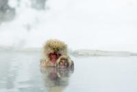 親子で温泉に入るニホンザル 10210000519| 写真素材・ストックフォト・画像・イラスト素材|アマナイメージズ
