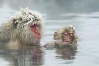 温泉で毛づくろいをする親子