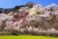 春の花見山公園 10211006058| 写真素材・ストックフォト・画像・イラスト素材|アマナイメージズ