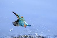 カワセミの飛翔 10211006636| 写真素材・ストックフォト・画像・イラスト素材|アマナイメージズ