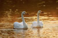 水面を泳ぐ白鳥のカップル 10211006982| 写真素材・ストックフォト・画像・イラスト素材|アマナイメージズ