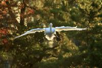 紅葉の林を飛ぶ白鳥