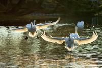 着水する白鳥のカップル 10211006989| 写真素材・ストックフォト・画像・イラスト素材|アマナイメージズ
