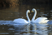 ハート型に向き合う白鳥のカップル 10211007025  写真素材・ストックフォト・画像・イラスト素材 アマナイメージズ