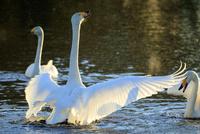 水面で羽ばたく白鳥