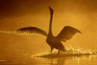 朝もやの中の白鳥の着水 10211007127| 写真素材・ストックフォト・画像・イラスト素材|アマナイメージズ