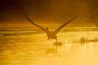 朝もやの水面を走る白鳥のシルエット