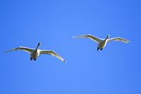 青空を飛翔する白鳥のカップル
