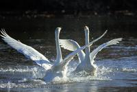水面で羽ばたく白鳥のカップル