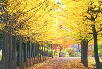 秋の公園の銀杏並木