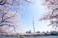 桜咲く墨田公園から東京スカイツリー