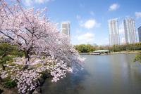桜咲く浜離宮恩賜庭園潮入の池と高層ビル群