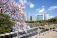 桜咲く浜離宮恩賜庭園潮入の池と汐留の高層ビル群