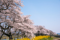 白石川堤一目千本桜並木