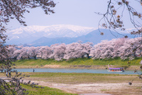 蔵王連峰と満開の白石川堤一目千本桜