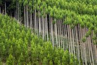 北山杉山林 10222008282| 写真素材・ストックフォト・画像・イラスト素材|アマナイメージズ