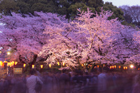 上野公園ライトアップの夜桜