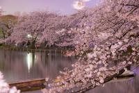 上野公園不忍池の夜桜