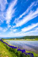 アヤメ咲く水田と空の表情