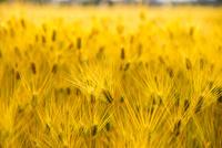 安曇野 黄金に輝く麦畑