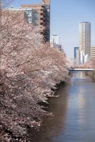 目黒川とサクラ並木・上流 10222012562| 写真素材・ストックフォト・画像・イラスト素材|アマナイメージズ
