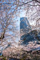 サクラ満開の東京ミッドタウン 10222012578| 写真素材・ストックフォト・画像・イラスト素材|アマナイメージズ