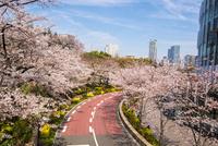 サクラ満開の東京ミッドタウン 10222012589| 写真素材・ストックフォト・画像・イラスト素材|アマナイメージズ