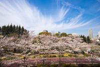 サクラ満開の東京ミッドタウン 10222012619| 写真素材・ストックフォト・画像・イラスト素材|アマナイメージズ