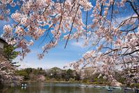 桜咲く千葉公園 10222012664| 写真素材・ストックフォト・画像・イラスト素材|アマナイメージズ