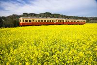 石神の菜の花畑を走る小湊鉄道 10222012693| 写真素材・ストックフォト・画像・イラスト素材|アマナイメージズ