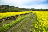 石神の菜の花畑と線路 10222012700| 写真素材・ストックフォト・画像・イラスト素材|アマナイメージズ