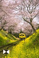 菜の花とサクラのトンネルのいすみ鉄道  10222012701| 写真素材・ストックフォト・画像・イラスト素材|アマナイメージズ