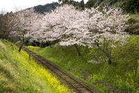 いすみ鉄道線路と菜の花とサクラ並木 10222012706| 写真素材・ストックフォト・画像・イラスト素材|アマナイメージズ