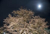 桜と月 10222012958| 写真素材・ストックフォト・画像・イラスト素材|アマナイメージズ