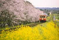 サクラ並木と菜の花畑を走るローカル線 10222013034| 写真素材・ストックフォト・画像・イラスト素材|アマナイメージズ