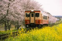 サクラ並木と菜の花畑を走るローカル線 10222013039| 写真素材・ストックフォト・画像・イラスト素材|アマナイメージズ