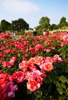 クィーンメアリーローズガーデンのバラ