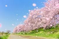 桜並木と道と舞い上がる花びら